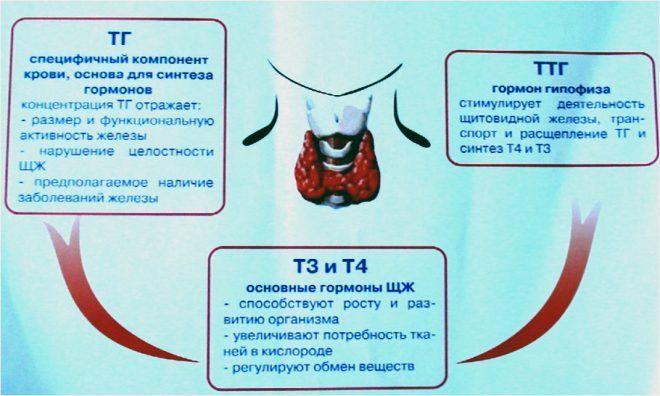 Аббревиатура гормонов щитовидной железы в организме