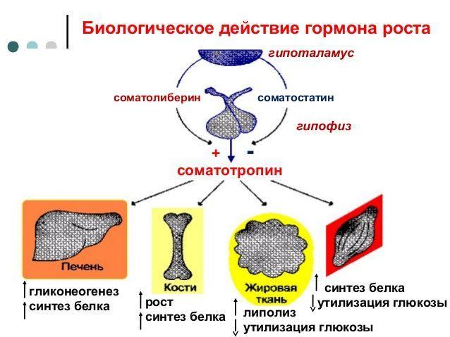 Биологическое действие соматропина