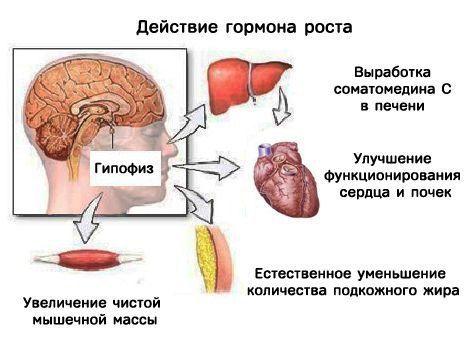 Действие соматотропного гормона