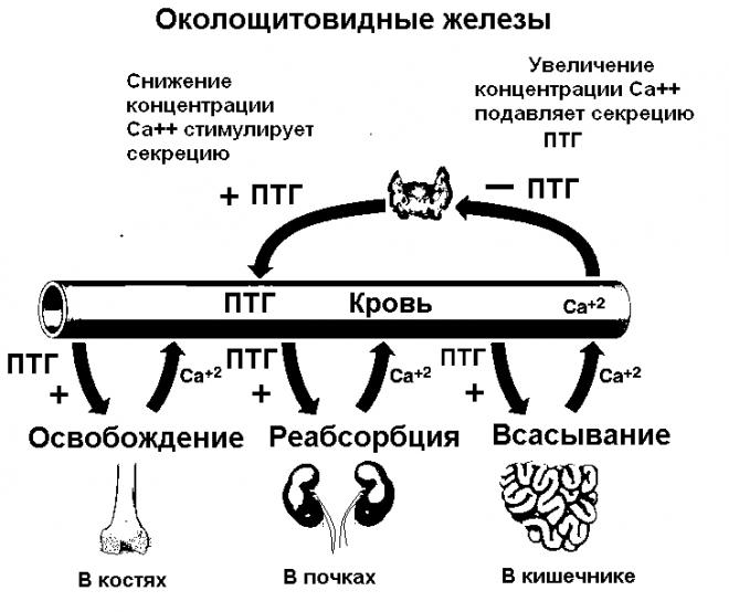 Эффекты паратиреоидного гормона