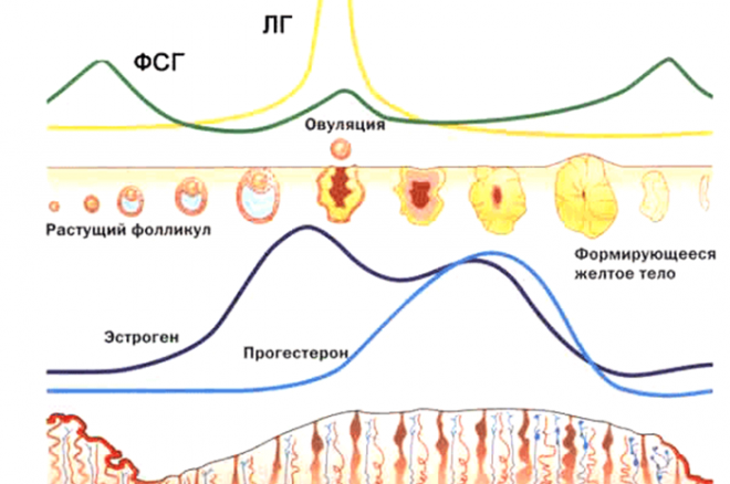 Процесс овуляции и подготовка организма к беременности