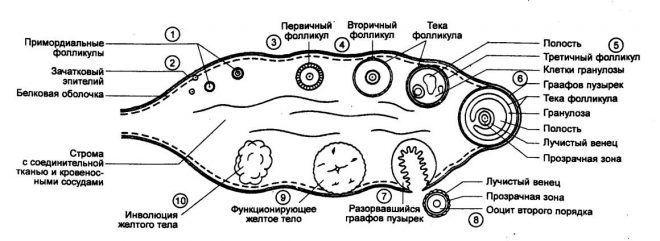 Главные фазы менструального цикла