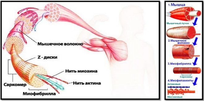 ИФР 1 увеличавает мышечную массу