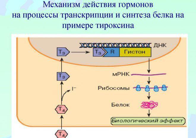 Механизм действия Тироксина