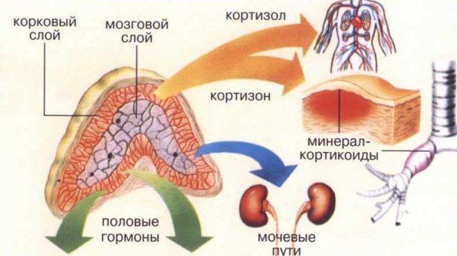 Механизм действия кортизола в организме
