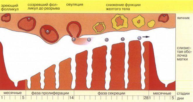 Нормальный месячный цикл