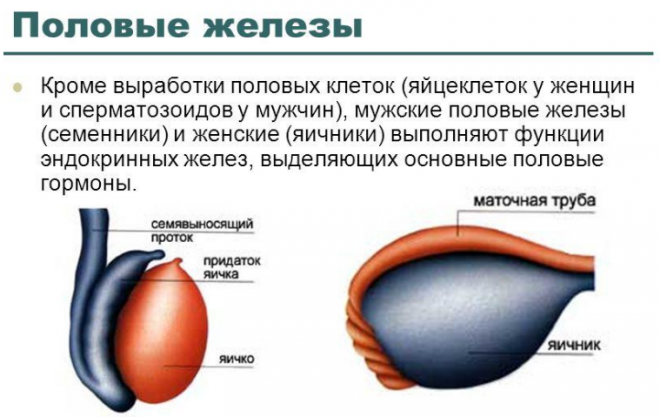 Особенности половых желез