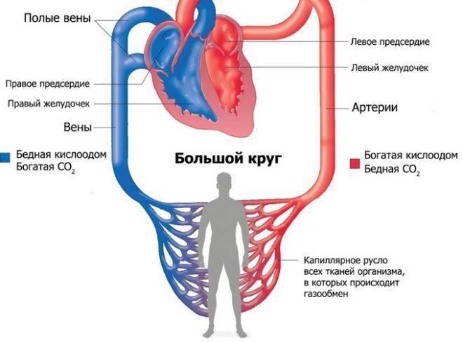 Регулирование сердечной системы