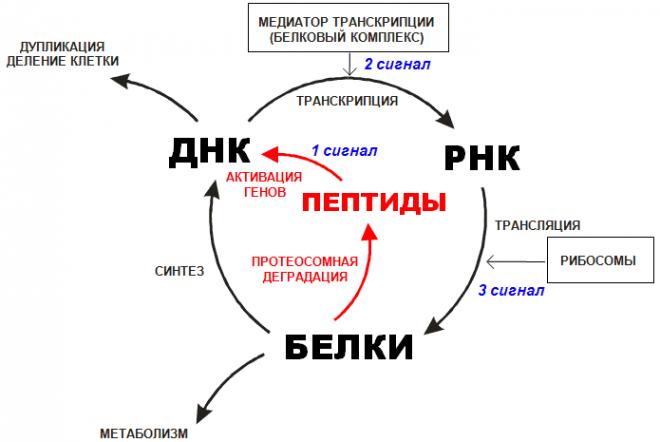 Роль пептидов в цикле биосинтеза ДНК, РНК, белков