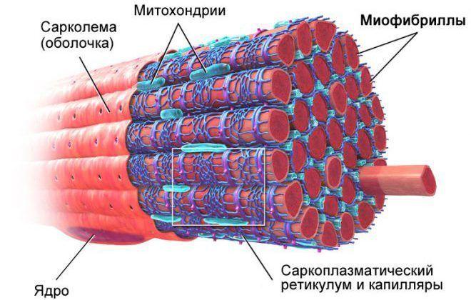 Типы гипертрофии мышечных волокон