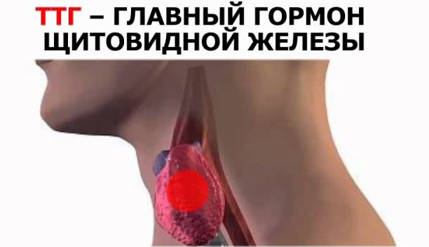 Тиреотропный гормон щитовидной железы