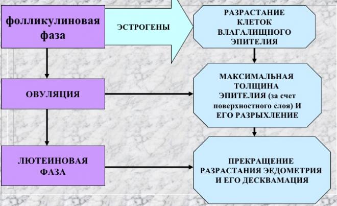 Три фазы цикла
