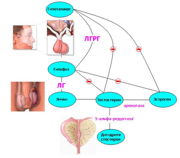 В гипоталамусе вырабатывается рилизинг лютеинизирующего гормона