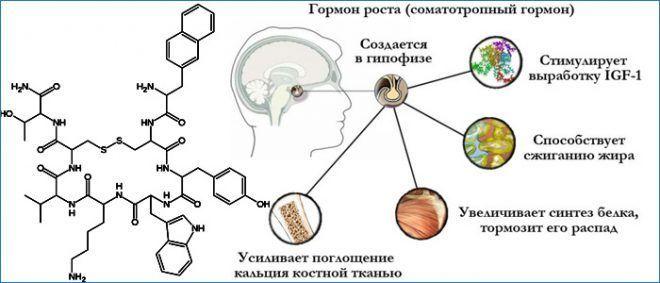 Воздействие соматотропина на организм