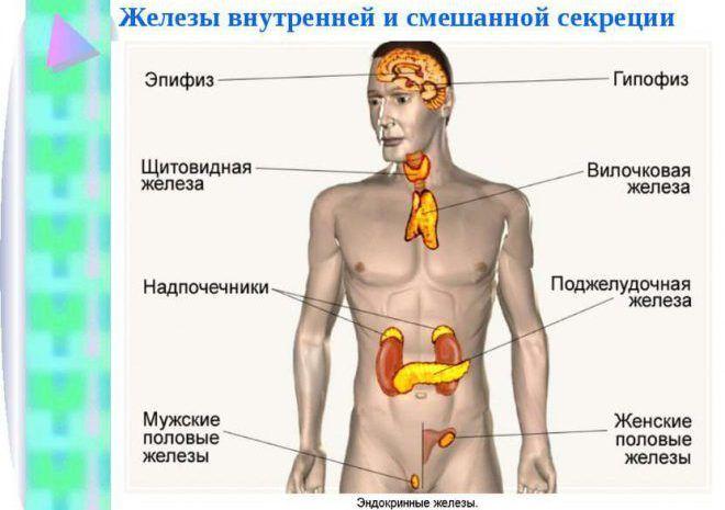 Железы внутренней и смешанной секреции