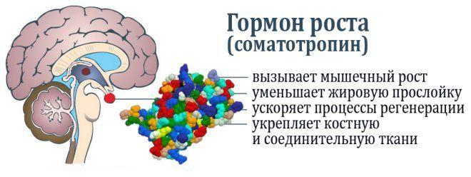 Гормон роста (соматотропин)