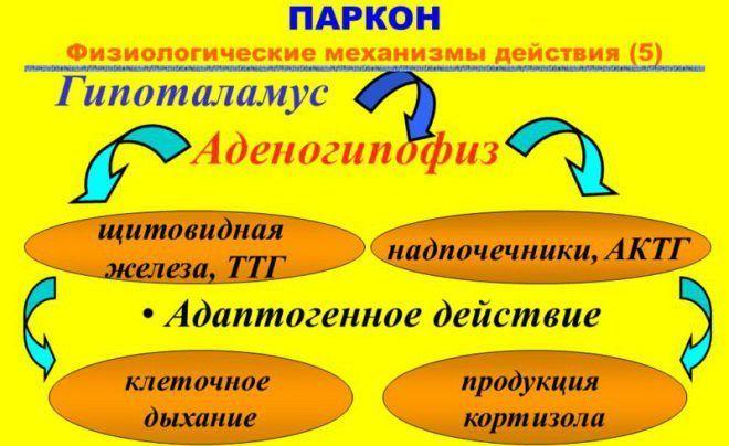 Аденогипофиз