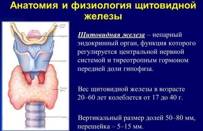 Анатомия и физиология щитовидной железы
