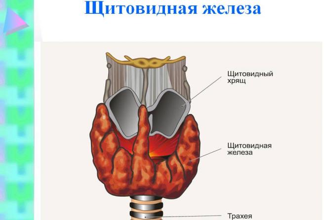 Анатомия щитовидной железы