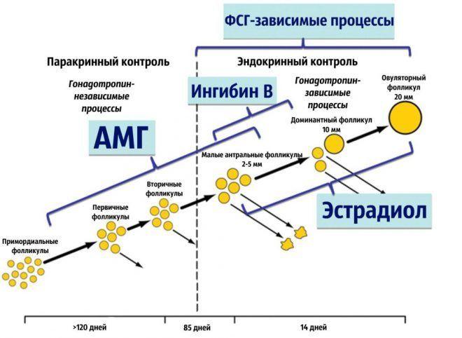 Функции антимюллерового гормона