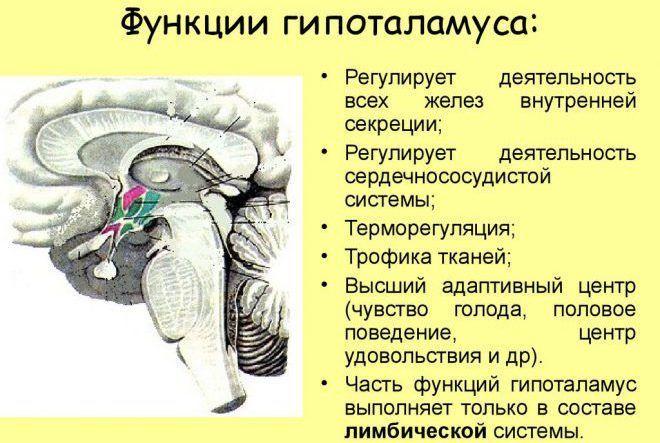Функции гипоталамуса