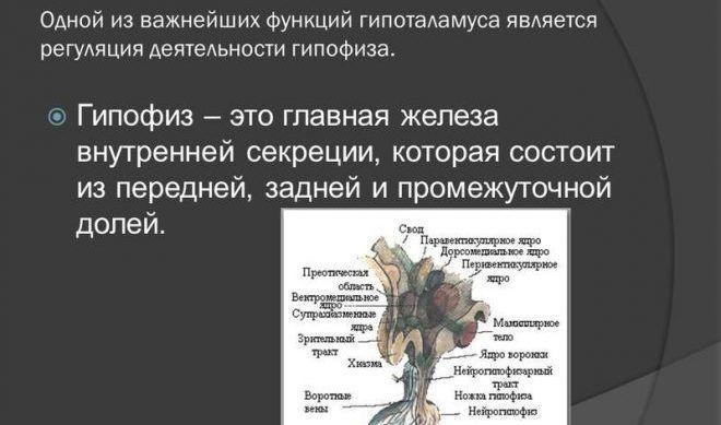 Гипофиз – железа