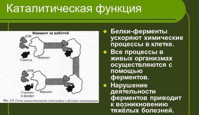 Каталитическая функция ферментов