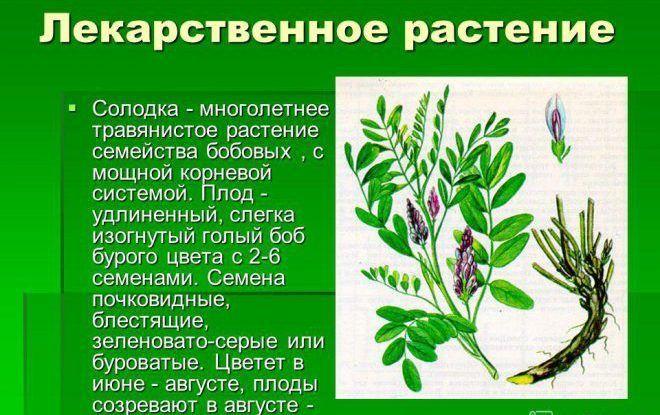 Лекарственное растение Солодка
