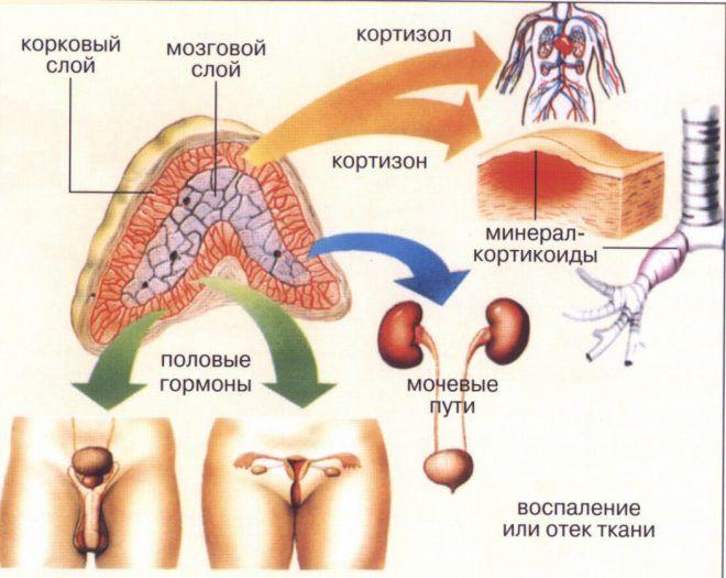Надпочечники и половые железы