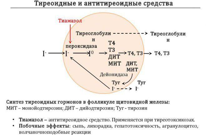 Пероксидаза щитовидной железы