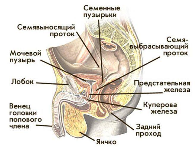Половые железы мужчин