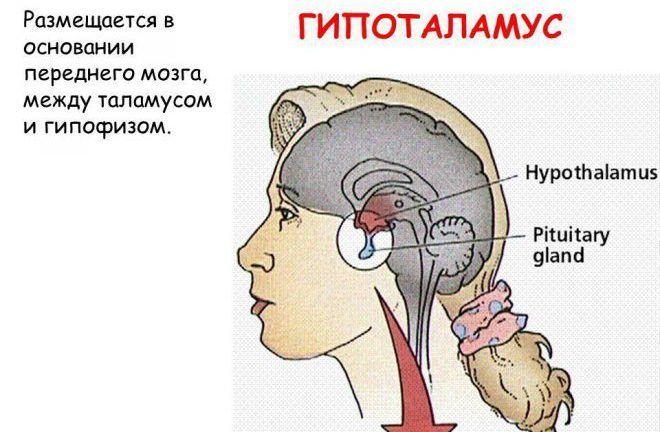 Размещается в основании переднего мозга