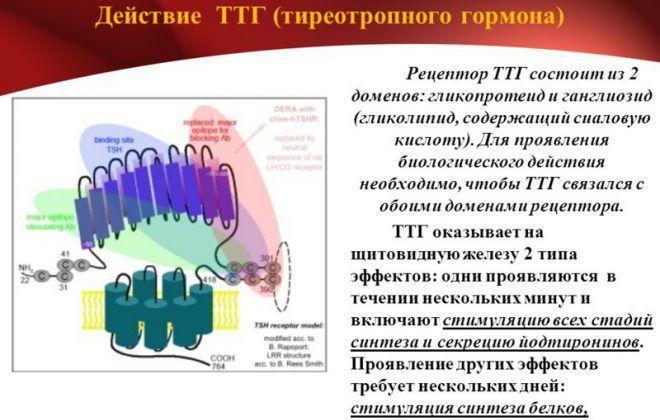 Рецепторы ТТГ
