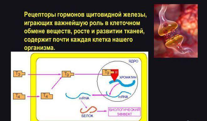 Рецепторы гормонов щитовидной железы