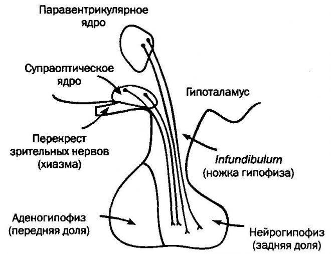 Строение гипофиза головного мозга