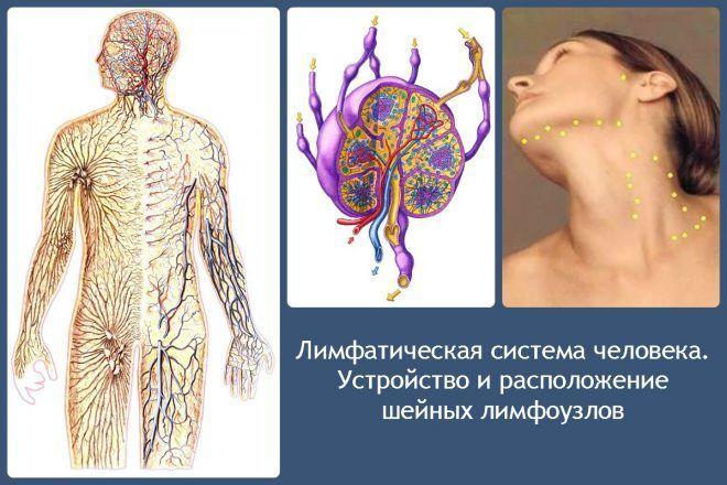 Устройство и расположение шейных лимфоузлов