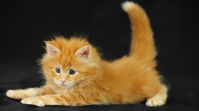 Ювенильная остеопатия у котят