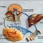 vlijanie-gormona-rosta-na-metabolizm