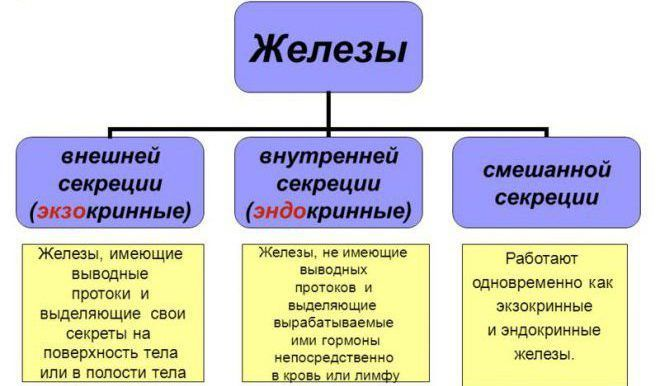 Эндокринная регуляция функций организма человека