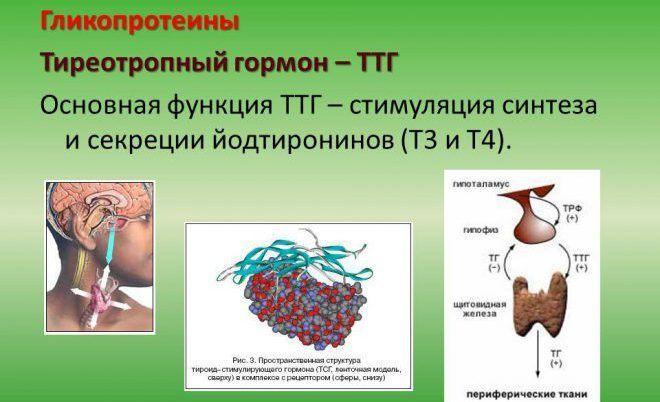 Тиреотропный гормон у женщин