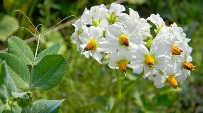 Картофельные цветки