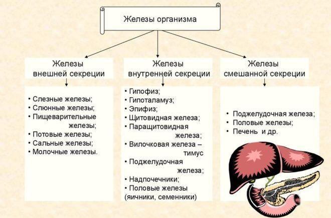 Внутренние железы человека