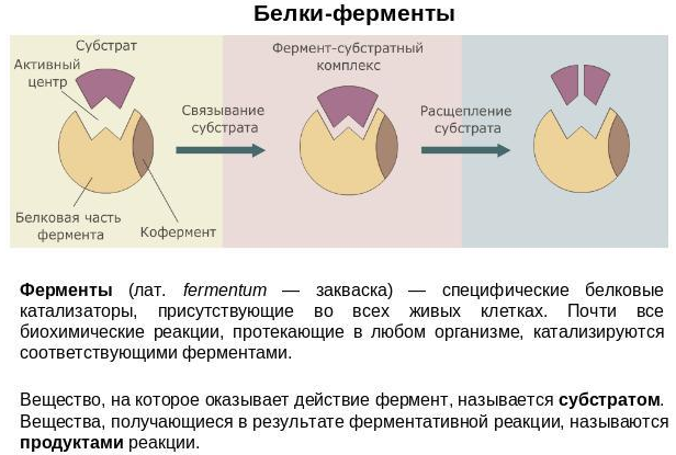 Белки-ферменты