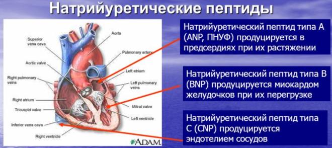 Натрийуретические пептиды