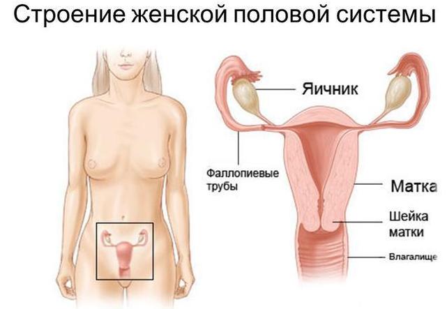 Органы половой системы на которые воздействует препарат