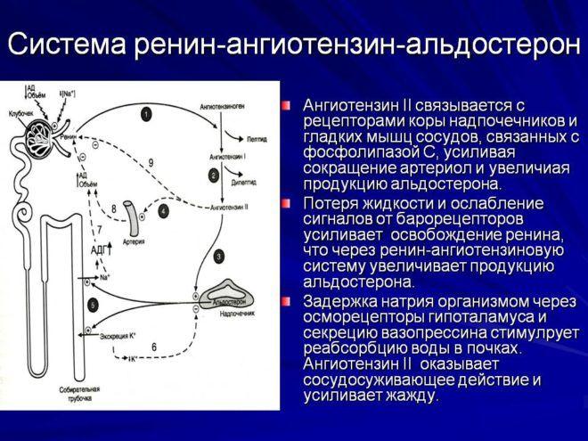 Система ренин-ангиотензин
