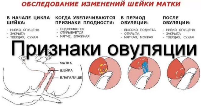Визуальные признаки овуляции