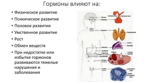 Влияние гормонов на организм человека