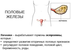 Яичники и их гормоны